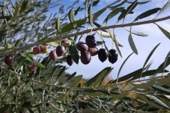 olives_growing_algarve