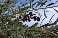 olives_growing_algarve